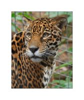Jaguar by OpticaLLightspeed