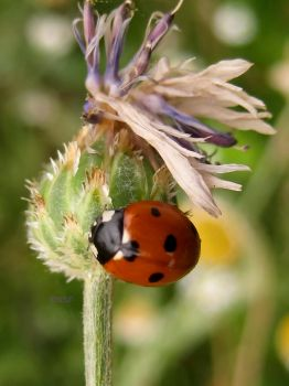Ladybird by iriscup