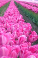 Pink Tulips by dsiegel