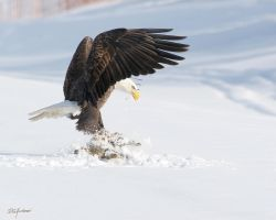 Bald Eagle New Prey by DGAnder