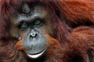 The Bornean Orangutan - Color by tyt2000