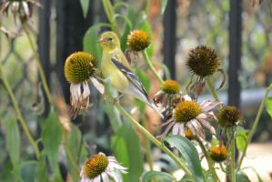 A Visitor In the Cone Flowers, Gold Finch Stare 2 by Miss-Tbones