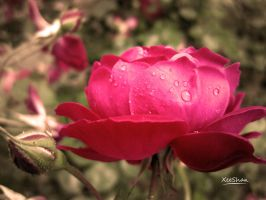 Rose after Rain by xeeshan-ch