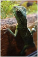 Chinese Water Dragon by DysfunctionalKid