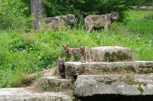 wolf puppies by Nashoba67