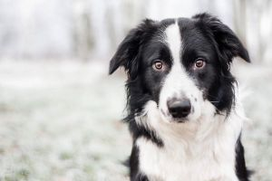 Border collie by Bahroona