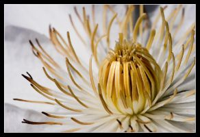 Clematis pavlova 1 by MessiahKhan