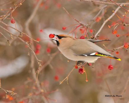 Bohemian Waxwing 3 by Les-Piccolo
