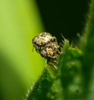 Curculionidae - mating by TheFunnySpider