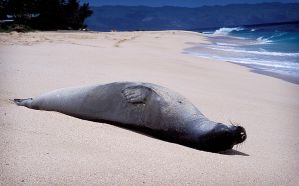 monk seal 1 by manaphoto-stock