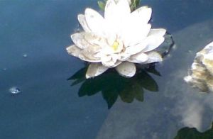 water lily by miharuyume