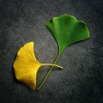 Week 15 - Ginkgo Leaves by serel