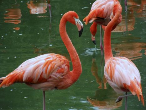 Chilean Flamingo's by HappilyWild