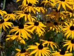 Brown-Eyed Susans by BlueSolitaire