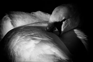 Swan 3 by mant01