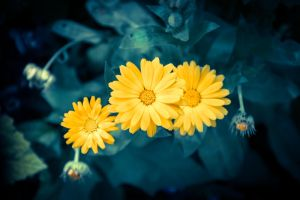 Beautiful yellow blossoms by unikatdesign