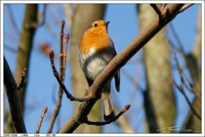 Robin by Coldrival