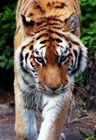 Amur Tiger Stock 18 by HOTNStock