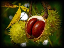 Aesculus hippocastanum by ibabela