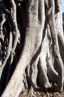 Tree Roots 1 by serp-stock