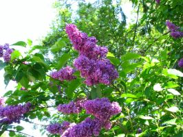 Lilacs 14 May 2015-01 by SkyfireDragon