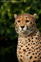 Cheetah 08 by Alannah-Hawker