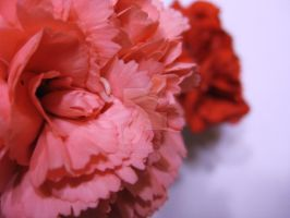 Carnations by Averin-Renee