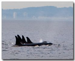 Orca Train by ricmerry