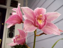 Cymbidium Red by Applemac12