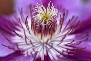 Clematis - Nelly Moser by Little-Miss-Splendid