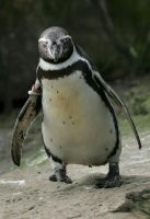 running penguin by Drezdany-stocks