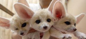 3 Cute Fennec Foxes by Weapons-Expert-Cool