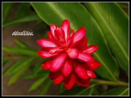 Red Petals by dhartinis