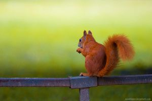 Squirrel Variations 4 by squirrelhollow