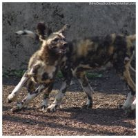 African Wild Dog - Pups 023 by ShineOverShadow