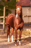 Chestnut stallion - Vajk V. by LadyAyslinn