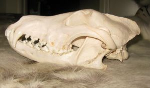 Wolf Skulls  Reference 7 by lamelobo