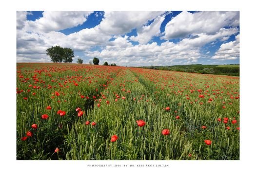 The poppies of Mernye - I by DimensionSeven