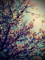 Cherry Blossom by shayduhhhh