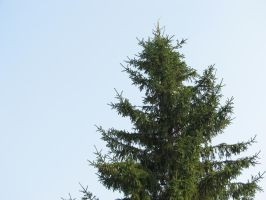Stock: Fir-tree by Think-Outside-Of-Box