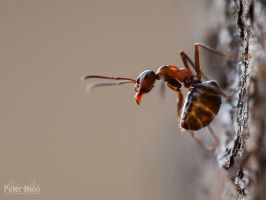 Ant by xBajnox