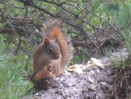 red squirrel in Maine 30 by crazygardener