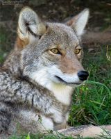 Coyote 701 by caybeach