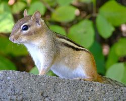 Chipmunk by PrimalOrB