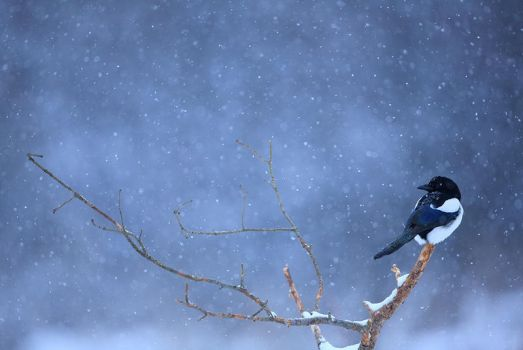 winter magpie by pepapigo