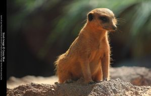 Meerkat Stock 2 by Cassy-Blue