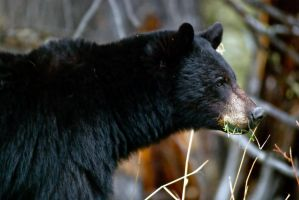 20100520-0045 Black Bear by Yellowstoned