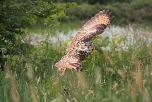 Flight of an Eagle owl by AngiWallace