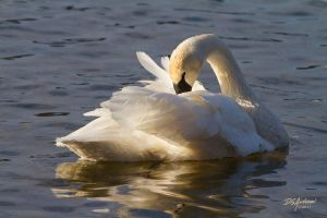 Trumpeter Swan .. Love the light by DGAnder