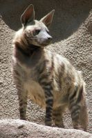 Striped Hyena by Ciameth